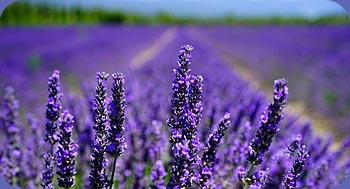 bouvieres lavendelveld
